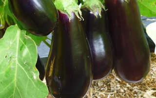 Баклажан Анет F1: описание и характеристики сорта, выращивание и уход с фото