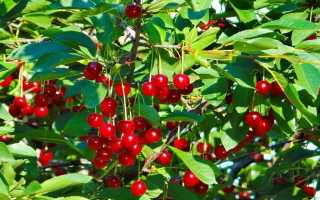 Болезни вишни: описание и причины, лечение и меры борьбы с ними