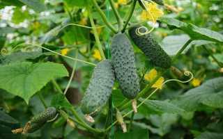 Огурец Маринда: описание сорта, урожайность и выращивание с фото