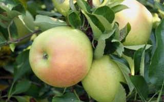 Яблоня Чудное: описание и характеристики сорта, урожайность и выращивание