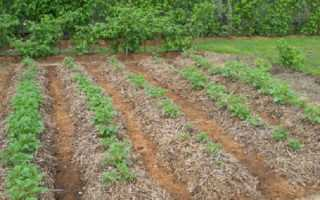 Мульчирование картофеля различными способами для увеличения урожайности