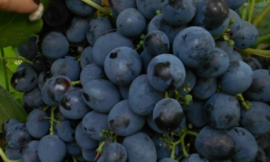 Виноград Сфинкс: описание и характеристики, правила выращивания и ухода с фото