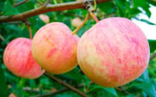 Яблоня Абориген: описание и характеристики сорта, выращивание с фото