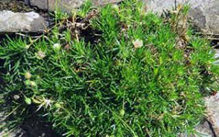 Мшанки бриола: выращивание из семян, посадка и уход, фото
