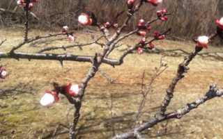 Болезни абрикоса: монилиоз, клястероспориоз, парша и насекомые — что делать