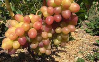 Мускат виноград: что такое эта группа разновидностей, лучшие размножительные сорта