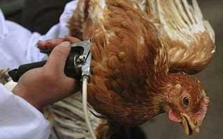 Вакцинация кур: схема и правила в домашних условиях для цыплят и бройлеров, таблица