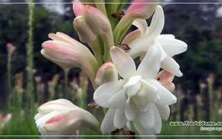 Тубероза: посадка и уход в открытом грунте, выращивание, хранение луковиц зимой, когда выкапывать