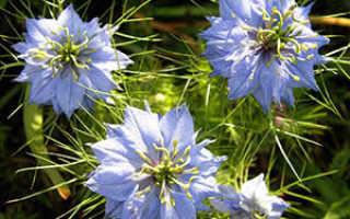 Нигелла: выращивание из семян, правила ухода, описание сортов и видов