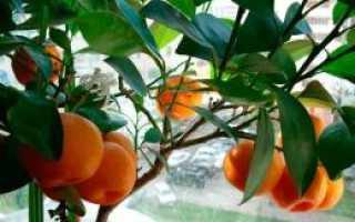 Мандарин Уншиу: описание сорта и выращивание в домашних условиях с фото