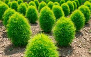 Кочия: посадка и уход в грунт, выращивание из семян