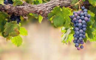 Обработка винограда перекисью водорода: правила применения и опрыскивания