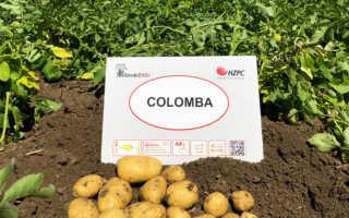 Картофель Коломбо: описание и характеристика сорта, мнение садоводов с фото