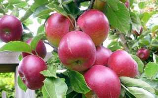 Яблоня Брусничное: описание сорта и характеристики, преимущества и недостатки
