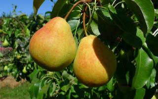 Груша Кафедральная: описание сорта и характеристики, урожайность и выращивание