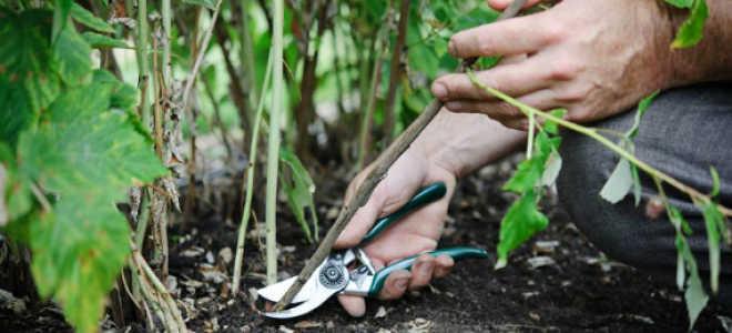 Обрезка малины летом в июле: как правильно ее делать, чтобы был хороший урожай