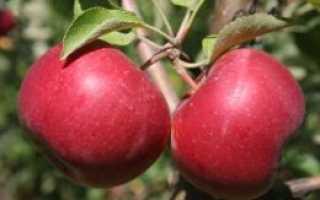 Яблоня Энтерпрайз: описание сорта и урожайность, плюсы и минусы с фото