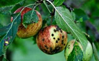 На листьях яблони черные пятна: что это за болезнь, чем лечить и что делать
