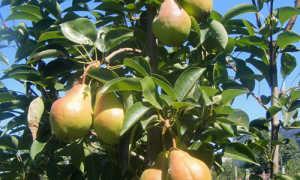 Груша Дюшес (Вильямс): описание и характеристики сорта, выращивание и уход