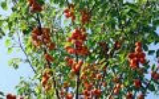 Абрикос Снегирек: характеристики и описание сорта, урожайность и выращивание