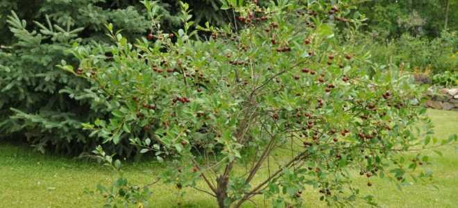 Сорт вишни Хуторянка: описание и характеристики сорта, выращивание и уход