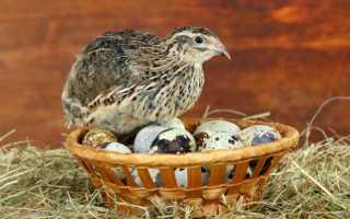 Когда перепела начинают откладывать яйца: в каком возрасте, как откладывают яйца?