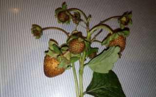 Почему ягоды клубники сохнут и не краснеют на грядке: причины и что делать