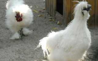 Китайская шелковая курица: описание породы и характеристика, выращивание, содержание