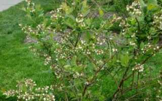Голубика Патриот: описание сорта, посадка, выращивание и уход с фото