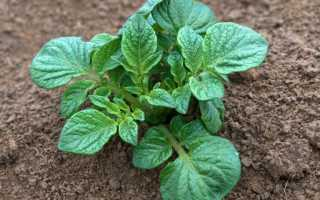 Плохо растет картофель на огороде: почему и что делать с фото