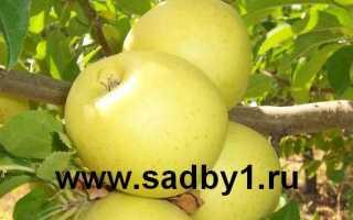 Яблоня Ананас: описание и характеристики сорта, регионы выращивания с фото