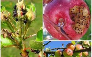Как избавиться от муравьев на яблоне народными средствами и препаратами