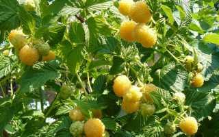 Разнообразие желтой малины огромное – Описание, посадка, уход, отзывы