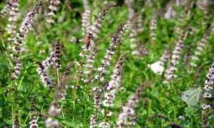 Лесная мята: особенности выращивания и ухода с фото