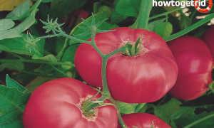 Томат Дорогой гость: описание и характеристика сорта, урожайность с фото