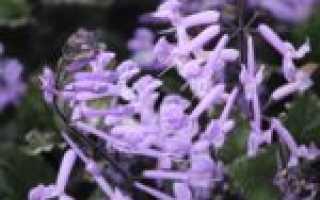 Плекрантус (комнатная мята) – виды и сорта, и фото
