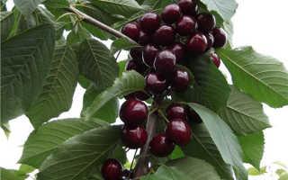 Вишня Валерий Чкалов: описание сорта и характеристики плодов, выращивание