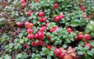 Брусника садовая: посадка и уход, размножение и выращивание на приусадебном участке