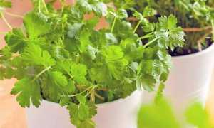 Кориандр на подоконнике: как вырастить зимой из семян в домашних условиях