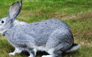 Кролики мясных пород (35 фото): какие кролики лучше всего подходят для разведения на мясо? Названия лучших пород бройлеров, а также мясных и пушных пород с описанием