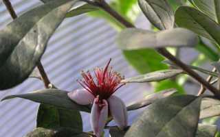 Фейхоа: выращивание в домашних условиях и открытом грунте, уход и полезные свойства
