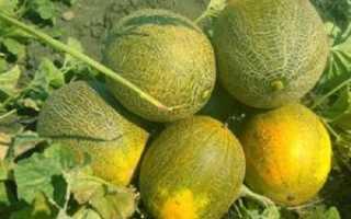 Дыня Золушка: характеристика и описание сорта, мнение садоводов с фото
