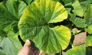 Почему желтеют листья у тыквы в открытом грунте и что делать?