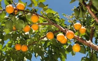 Абрикос для Подмосковья: лучшие сорта с описанием, какие стоит посадить