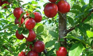 Алыча: уход и выращивание, как посадить, выбрать сорт и чем подкормить