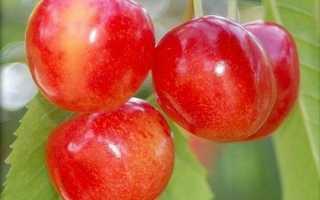 Черешня Орловская Розовая: описание сорта и опылители, выращивание и уход с фото