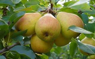 Груша Любимица Клаппа: описание и характеристики сорта, посадка, выращивание и уход