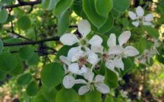 Груша Просто Мария: описание сорта и характеристики, выращивание и опылители с фото