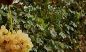 В каком году виноград плодоносит после посадки саженцев и черенков: в первый, второй или третий год? Когда начинается плодоношение и сколько времени длится?