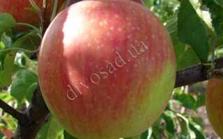 Яблоня Катерина: описание сорта и характеристики, урожайность и болезни с фото